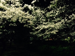夙川公園でお花見